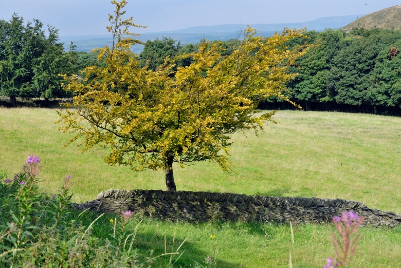 A single tree among many Preparing itself for Autumn