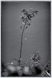 A sapling oak growing on the edge of the upper lake