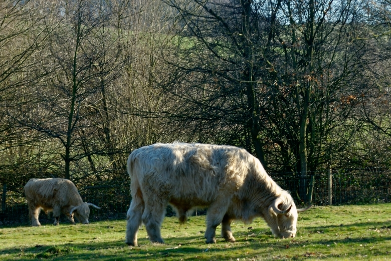 Highland cattle grazing the upper lake area of Yorkshire Sculpture Park.