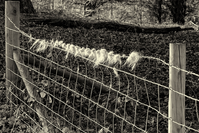 Sheep's Scratching wire, the one and only in the area.